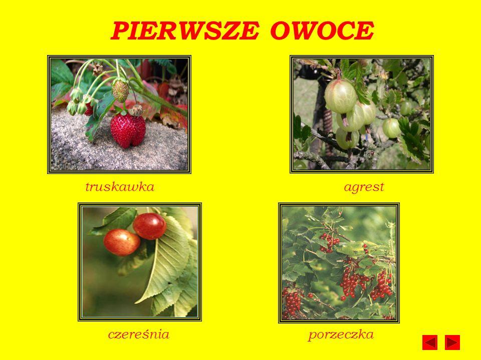 PIERWSZE OWOCE truskawka agrest czereśnia porzeczka