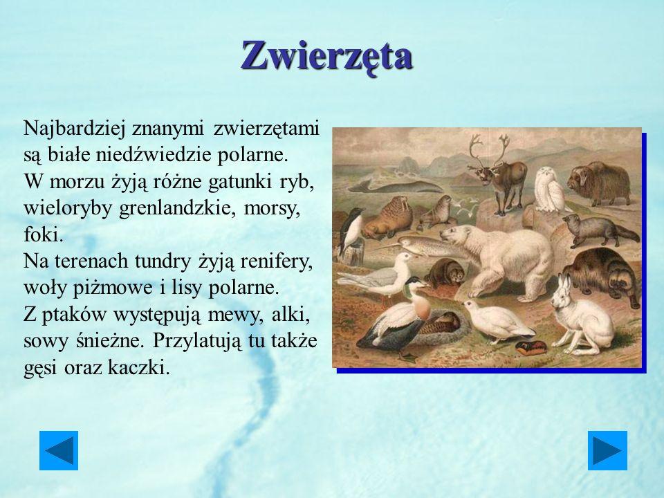 Zwierzęta Najbardziej znanymi zwierzętami są białe niedźwiedzie polarne. W morzu żyją różne gatunki ryb, wieloryby grenlandzkie, morsy, foki.