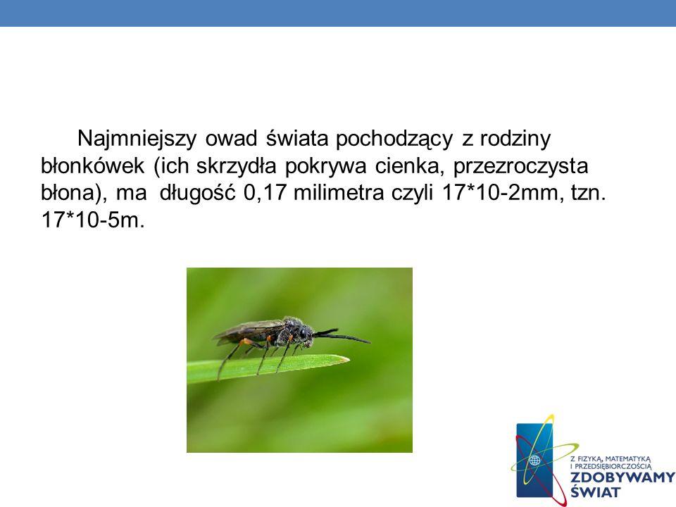 Najmniejszy owad świata pochodzący z rodziny błonkówek (ich skrzydła pokrywa cienka, przezroczysta błona), ma długość 0,17 milimetra czyli 17*10-2mm, tzn.
