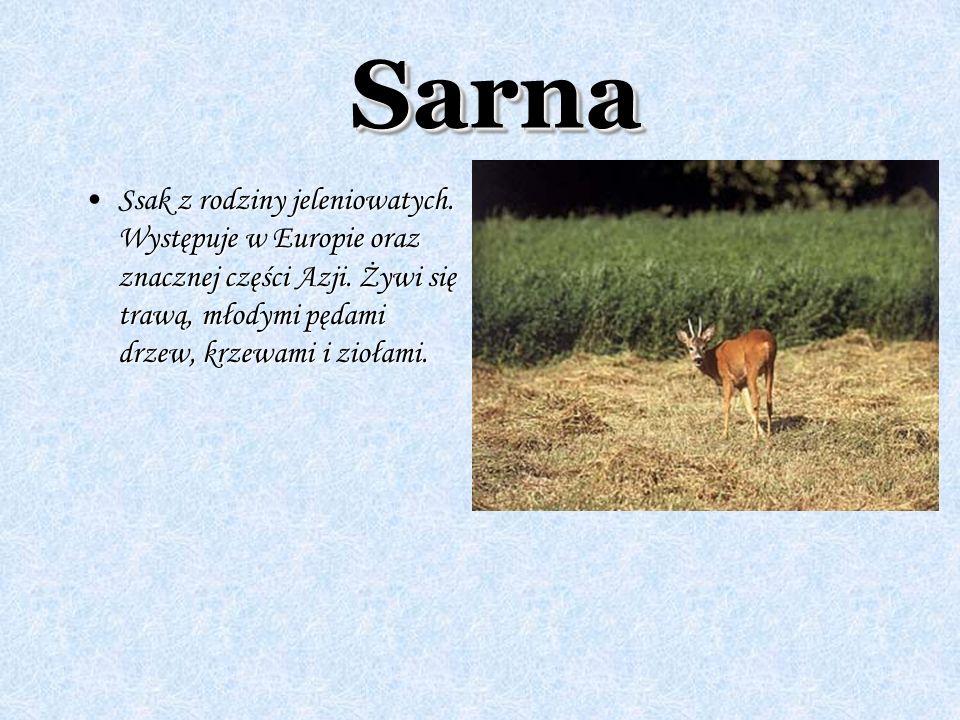 Sarna Ssak z rodziny jeleniowatych. Występuje w Europie oraz znacznej części Azji.