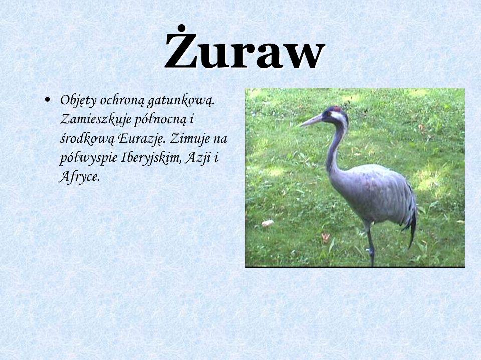 Żuraw Objęty ochroną gatunkową. Zamieszkuje północną i środkową Eurazję.