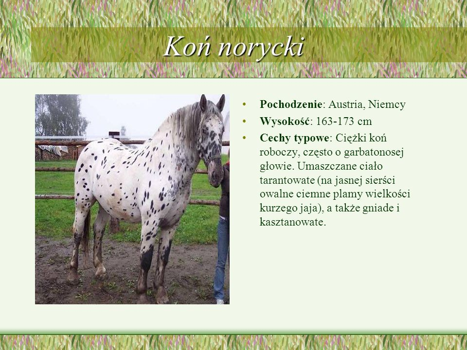 Koń norycki Pochodzenie: Austria, Niemcy Wysokość: 163-173 cm