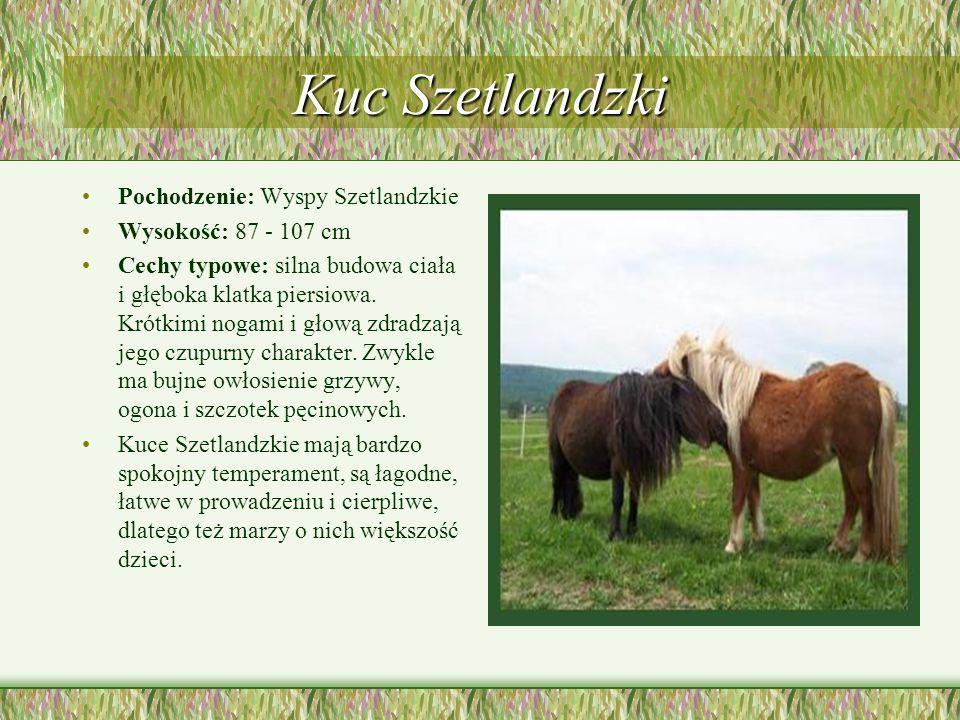 Kuc Szetlandzki Pochodzenie: Wyspy Szetlandzkie Wysokość: 87 - 107 cm