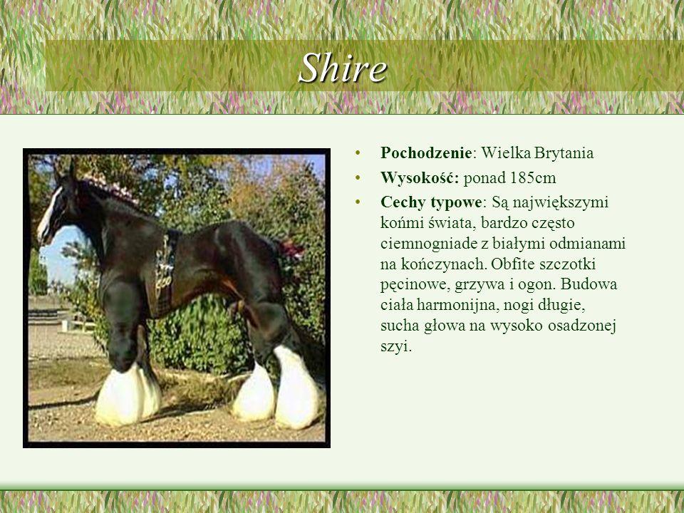 Shire Pochodzenie: Wielka Brytania Wysokość: ponad 185cm