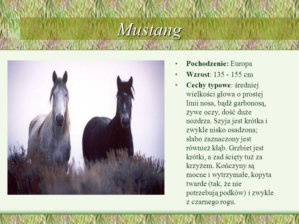 Mustang Pochodzenie: Europa Wzrost: 135 - 155 cm