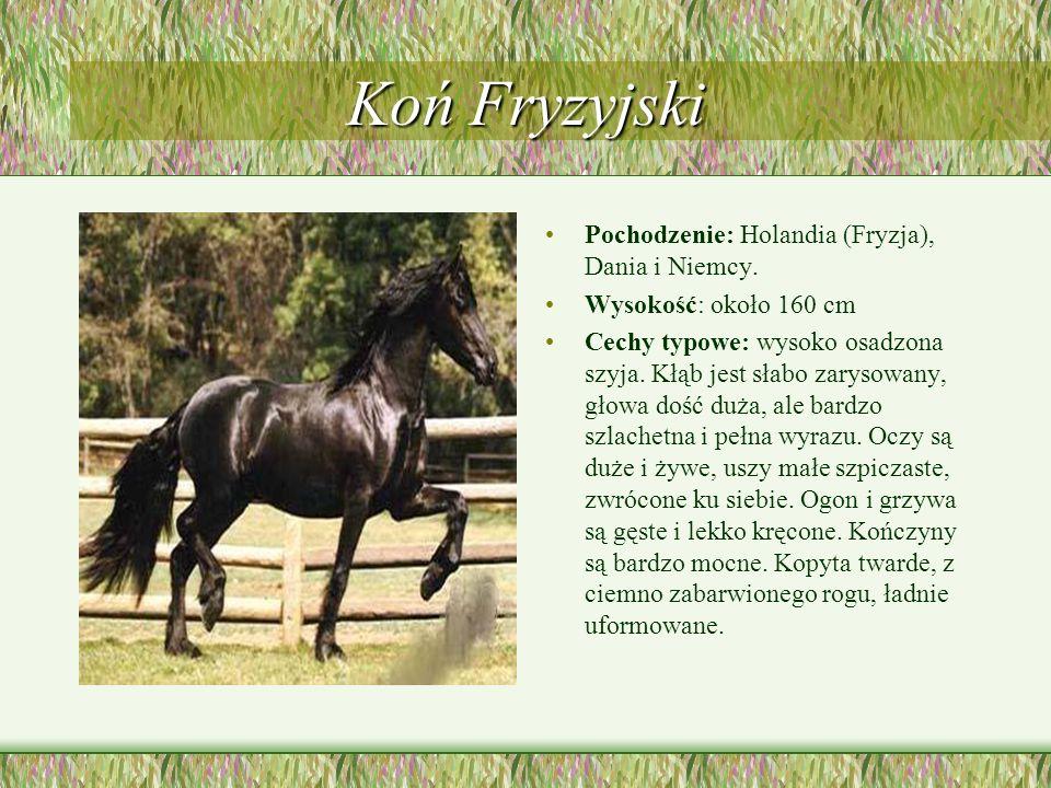 Koń Fryzyjski Pochodzenie: Holandia (Fryzja), Dania i Niemcy.