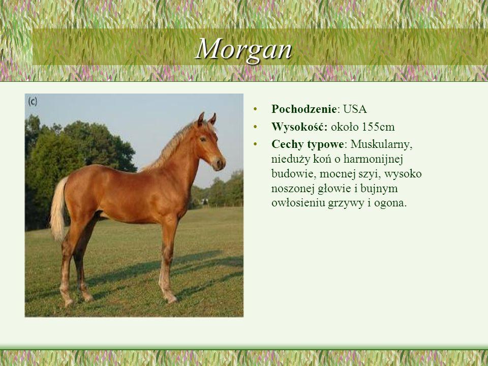 Morgan Pochodzenie: USA Wysokość: około 155cm