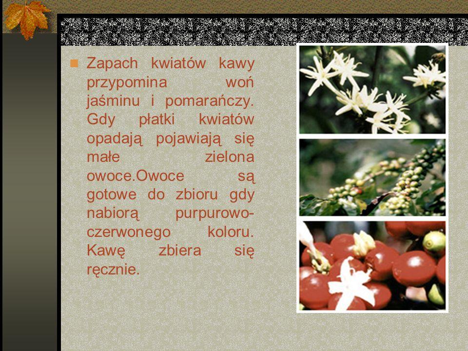Zapach kwiatów kawy przypomina woń jaśminu i pomarańczy