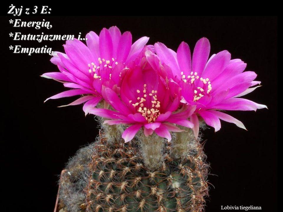 Żyj z 3 E: *Energią, *Entuzjazmem i... *Empatią. Lobivia tiegeliana
