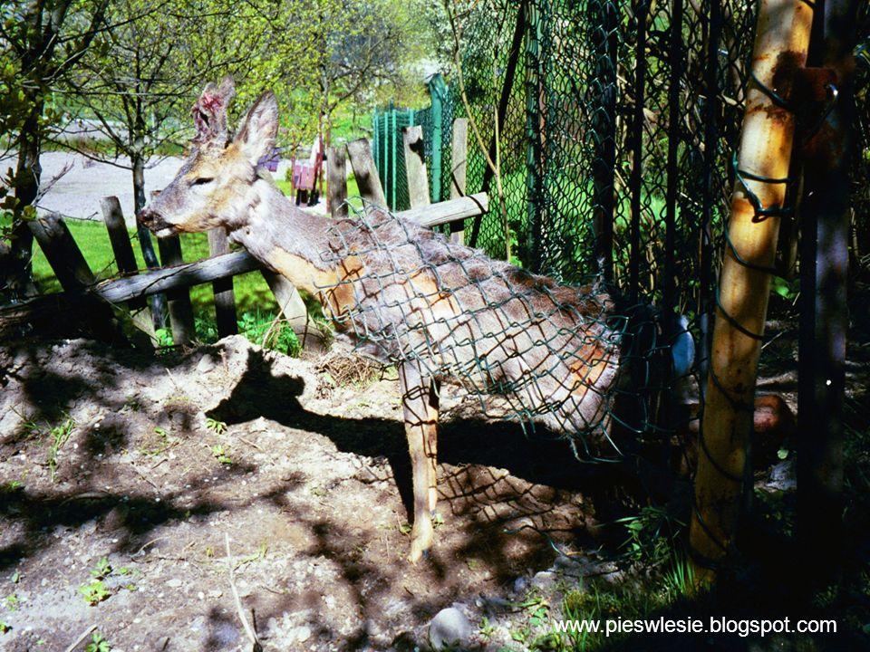 www.pieswlesie.blogspot.com
