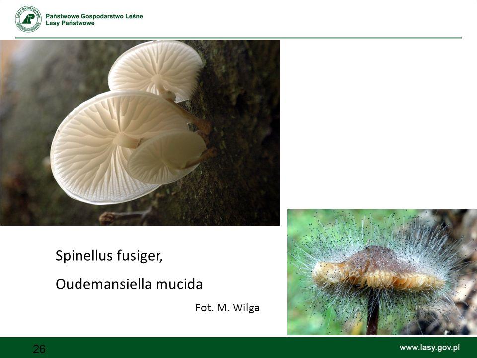Spinellus fusiger, Oudemansiella mucida Fot. M. Wilga
