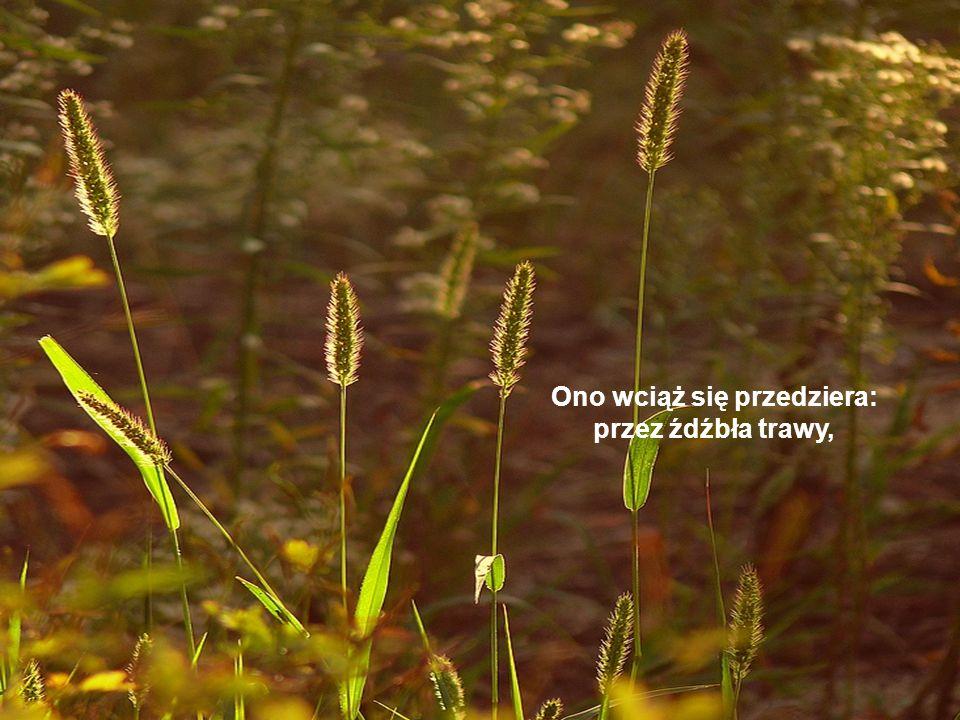 Ono wciąż się przedziera: przez źdźbła trawy,