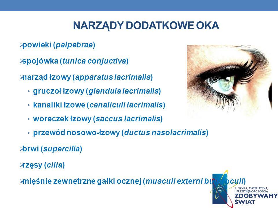Narządy dodatkowe oka powieki (palpebrae) spojówka (tunica conjuctiva)