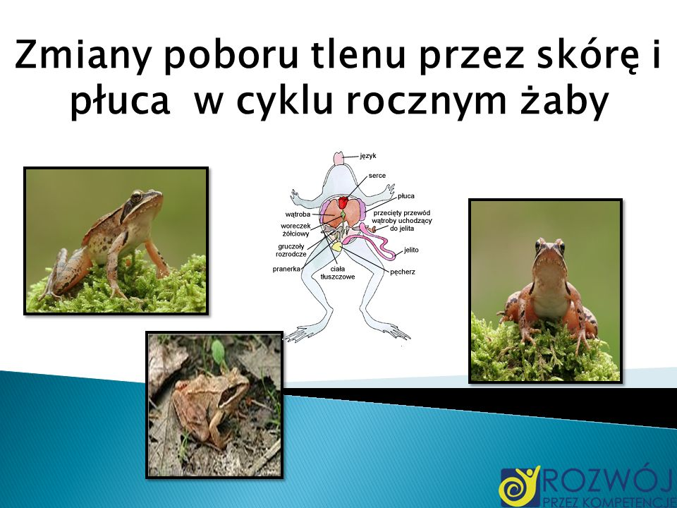 Zmiany poboru tlenu przez skórę i płuca w cyklu rocznym żaby
