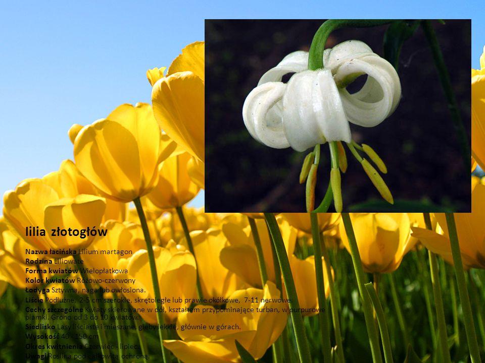 lilia złotogłów Nazwa łacińska Lilium martagon Rodzina Liliowate