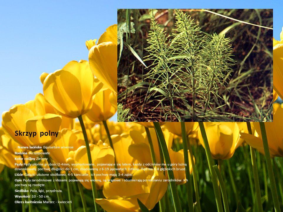 Skrzyp polny .. Nazwa łacińska Equisetum arvense Rodzina Skrzyzpowate