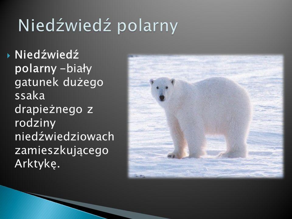 Niedźwiedź polarny Niedźwiedź polarny -biały gatunek dużego ssaka drapieżnego z rodziny niedźwiedziowach zamieszkującego Arktykę.