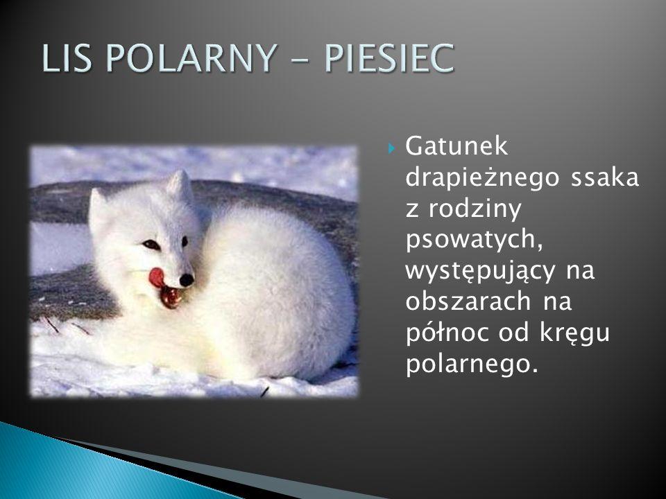 LIS POLARNY - PIESIEC Gatunek drapieżnego ssaka z rodziny psowatych, występujący na obszarach na północ od kręgu polarnego.