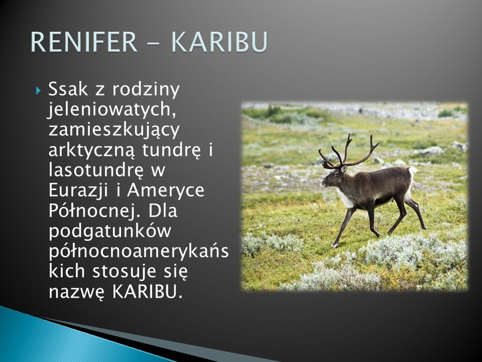 RENIFER - KARIBU