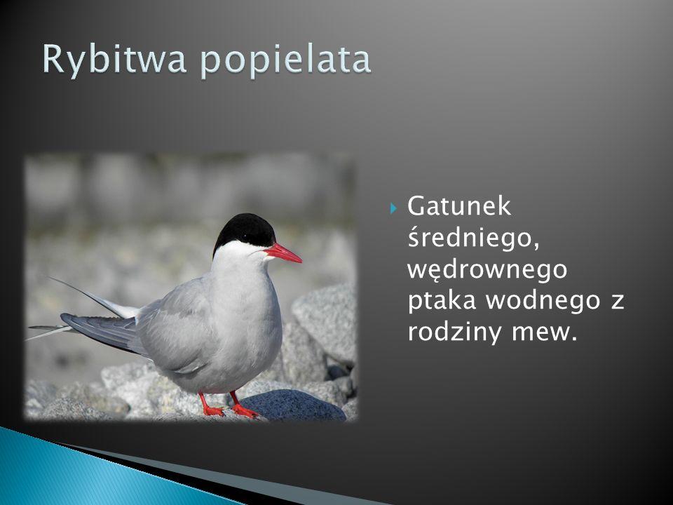 Rybitwa popielata Gatunek średniego, wędrownego ptaka wodnego z rodziny mew.
