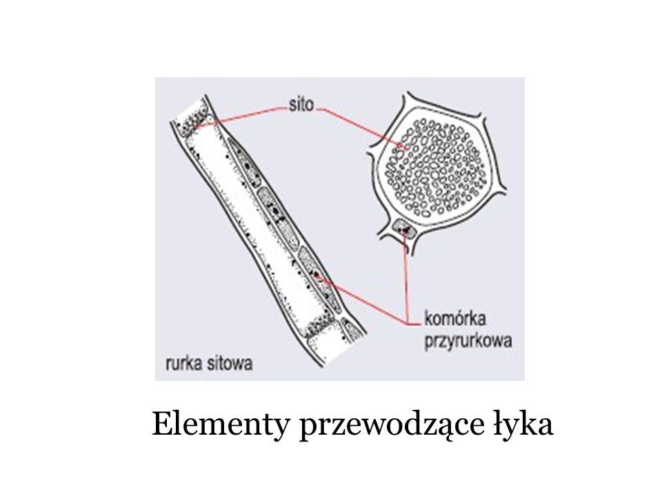 Elementy przewodzące łyka