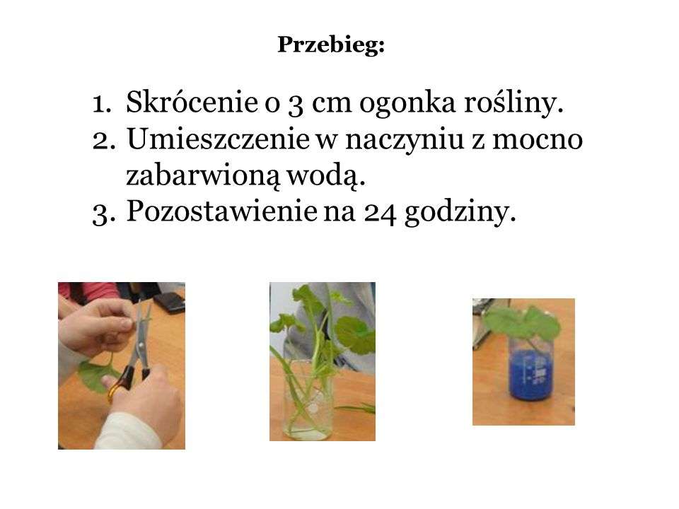 Skrócenie o 3 cm ogonka rośliny.