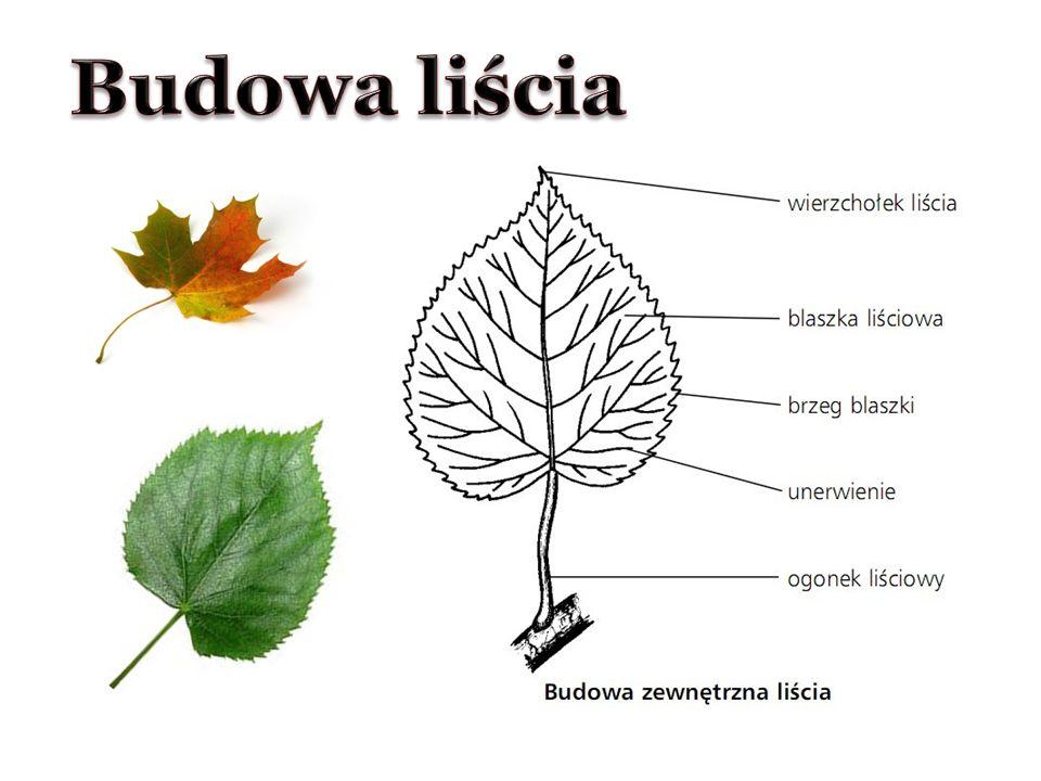 Budowa liścia
