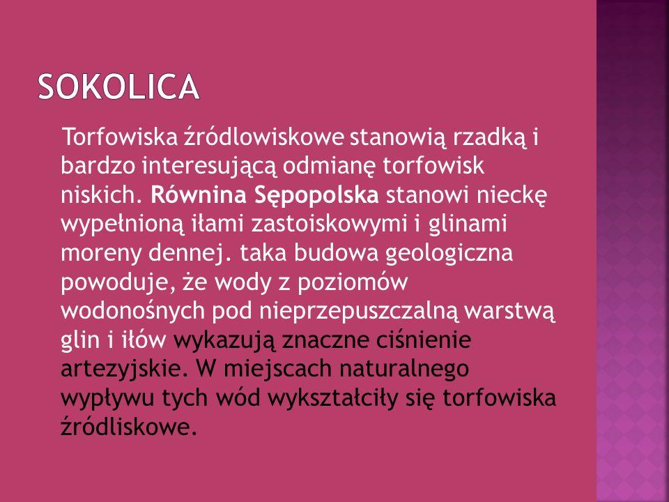 Sokolica