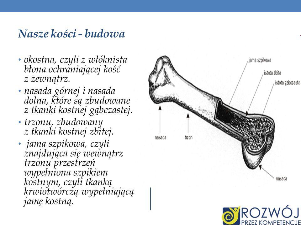 Nasze kości - budowa okostna, czyli z włóknista błona ochraniającej kość z zewnątrz.
