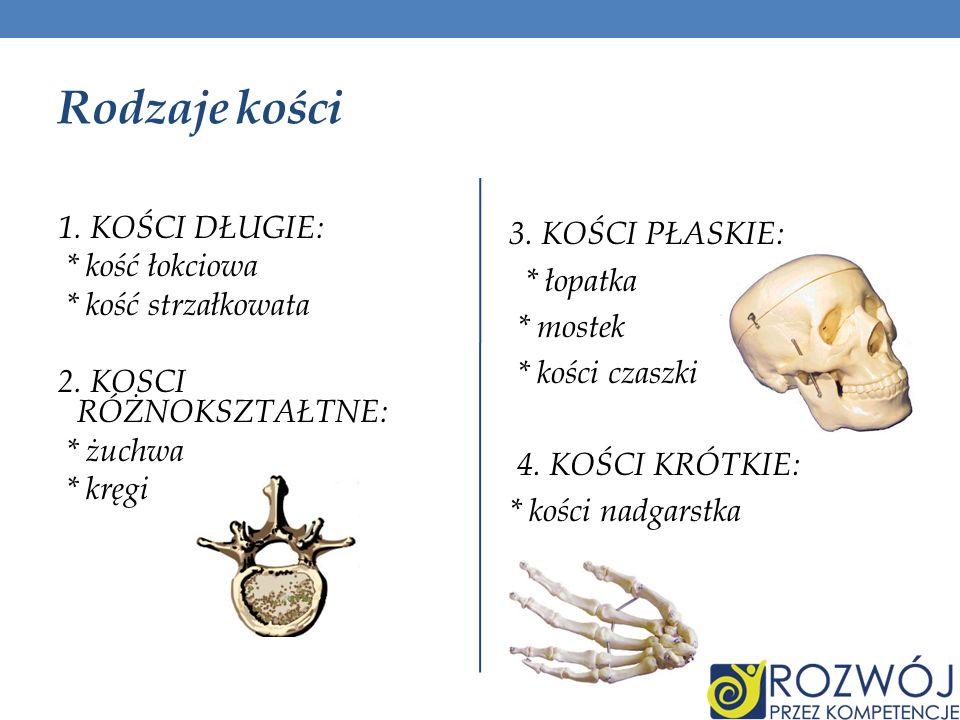 Rodzaje kości 1. KOŚCI DŁUGIE: * kość łokciowa * kość strzałkowata 2. KOSCI RÓŻNOKSZTAŁTNE: * żuchwa * kręgi