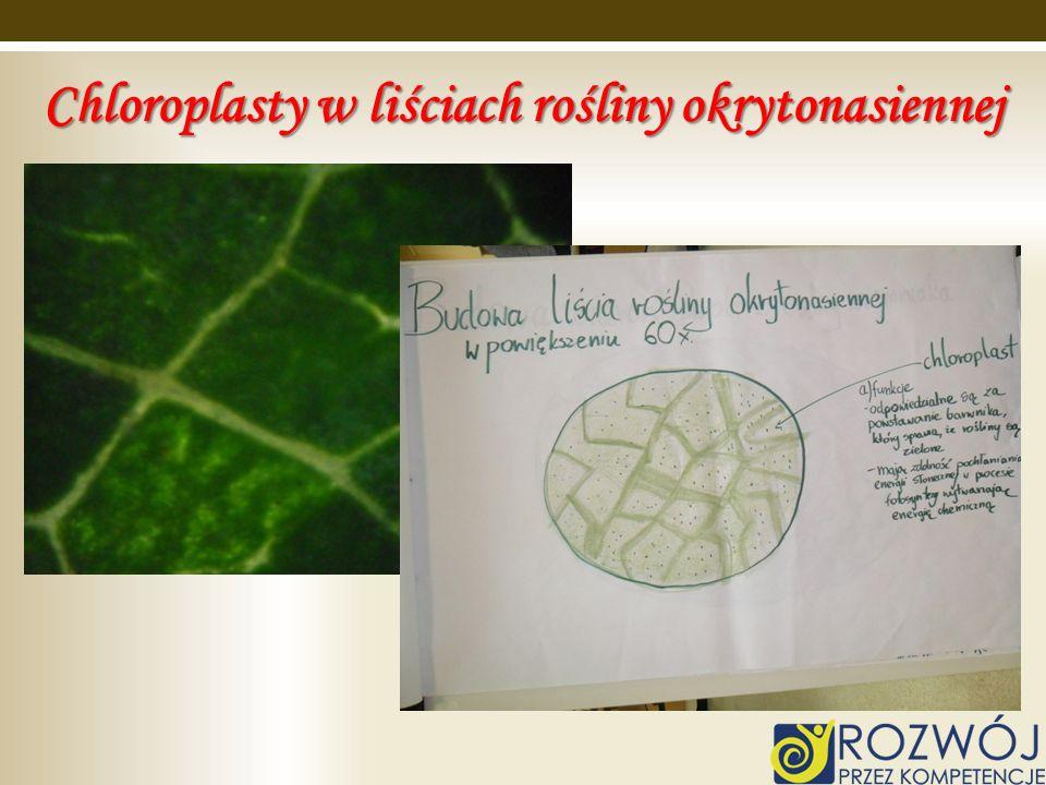 Chloroplasty w liściach rośliny okrytonasiennej