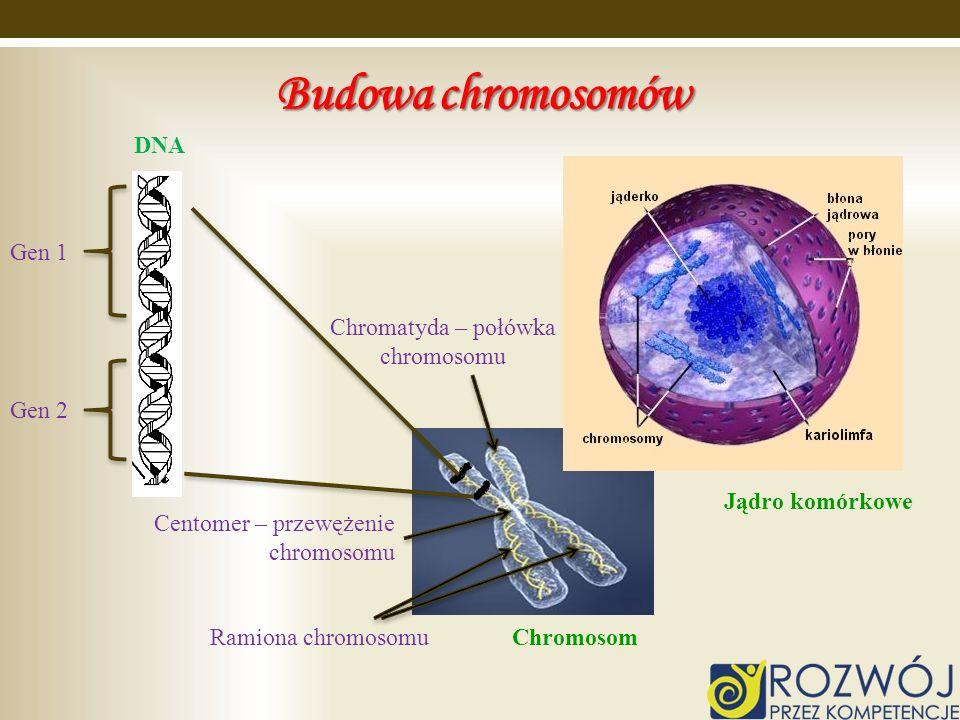 Chromatyda – połówka chromosomu
