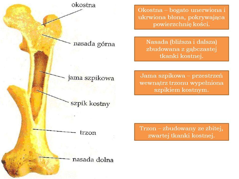 Nasada (bliższa i dalsza) zbudowana z gąbczastej tkanki kostnej.