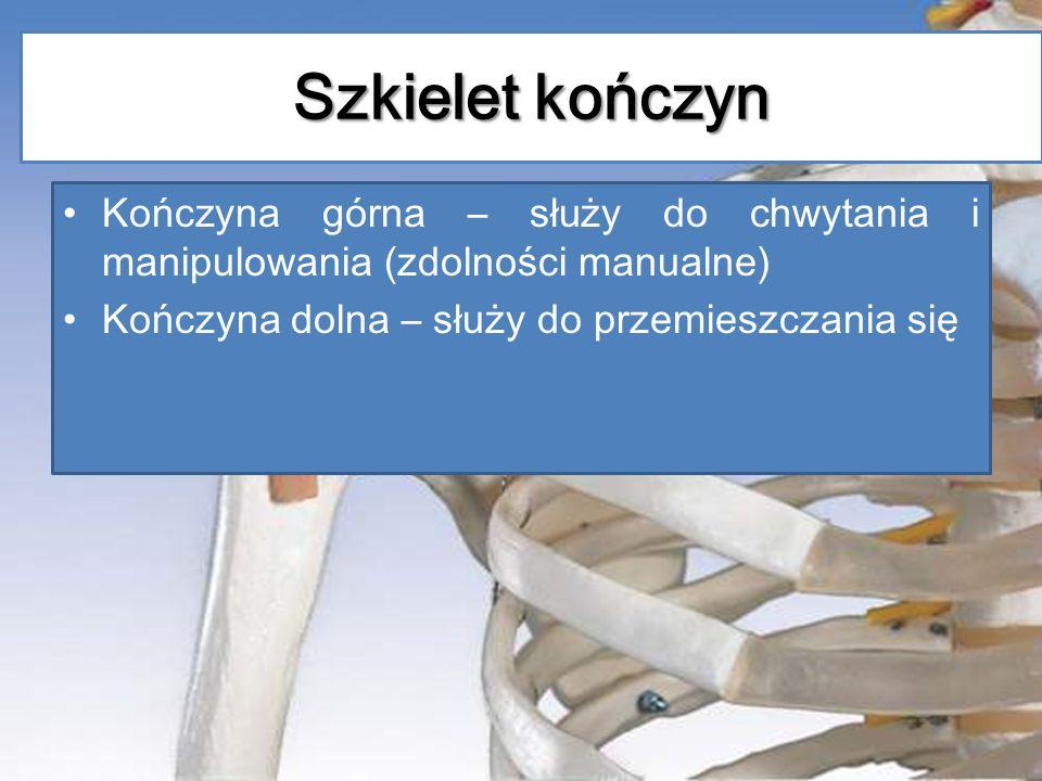 Szkielet kończyn Kończyna górna – służy do chwytania i manipulowania (zdolności manualne) Kończyna dolna – służy do przemieszczania się.