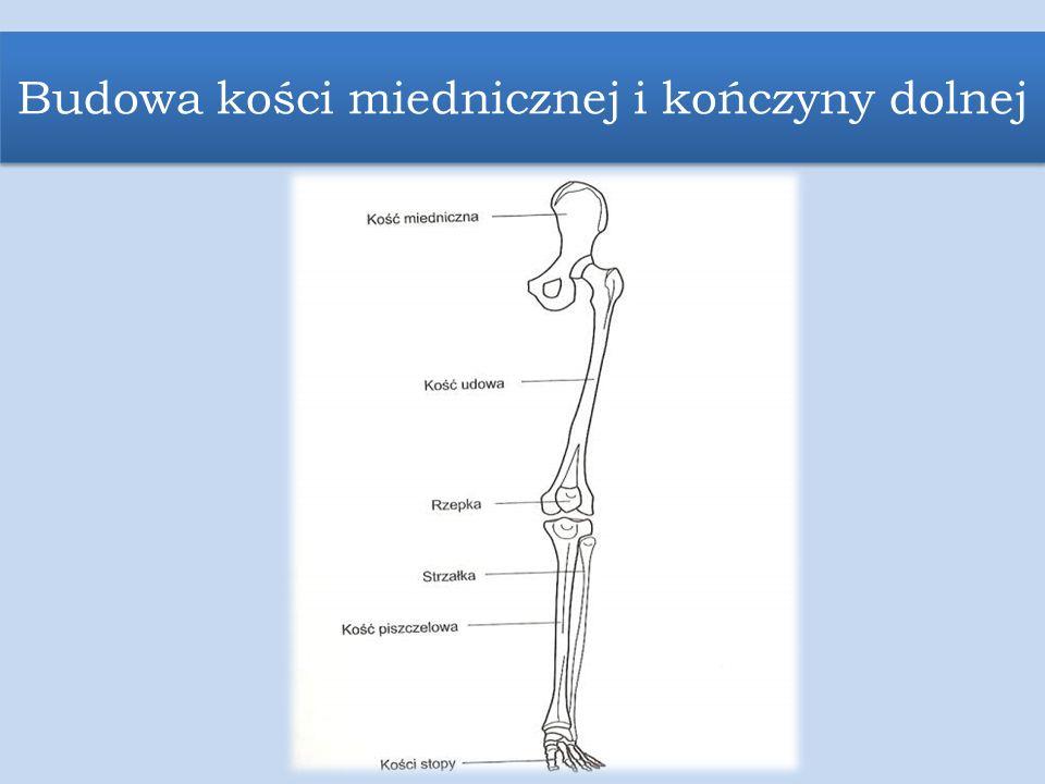 Budowa kości miednicznej i kończyny dolnej