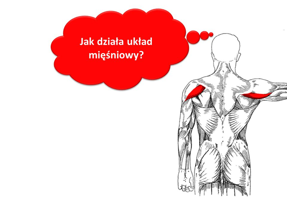 Jak działa układ mięśniowy