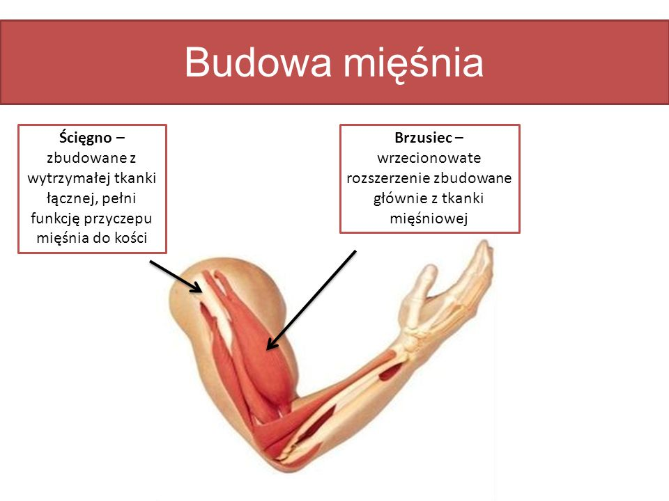 Budowa mięśnia Ścięgno – zbudowane z wytrzymałej tkanki łącznej, pełni funkcję przyczepu mięśnia do kości.