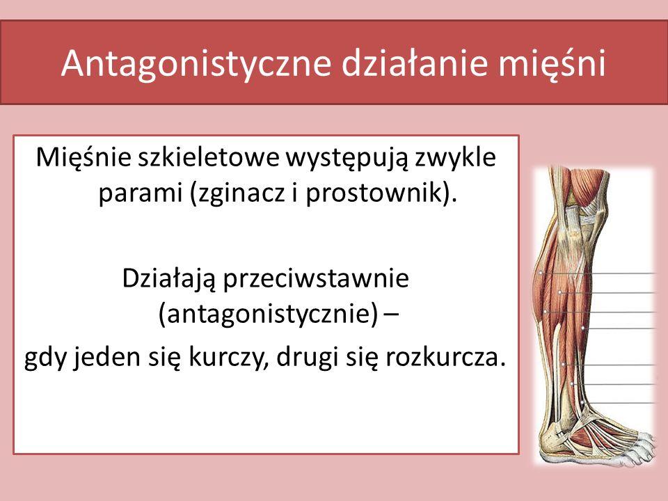Antagonistyczne działanie mięśni