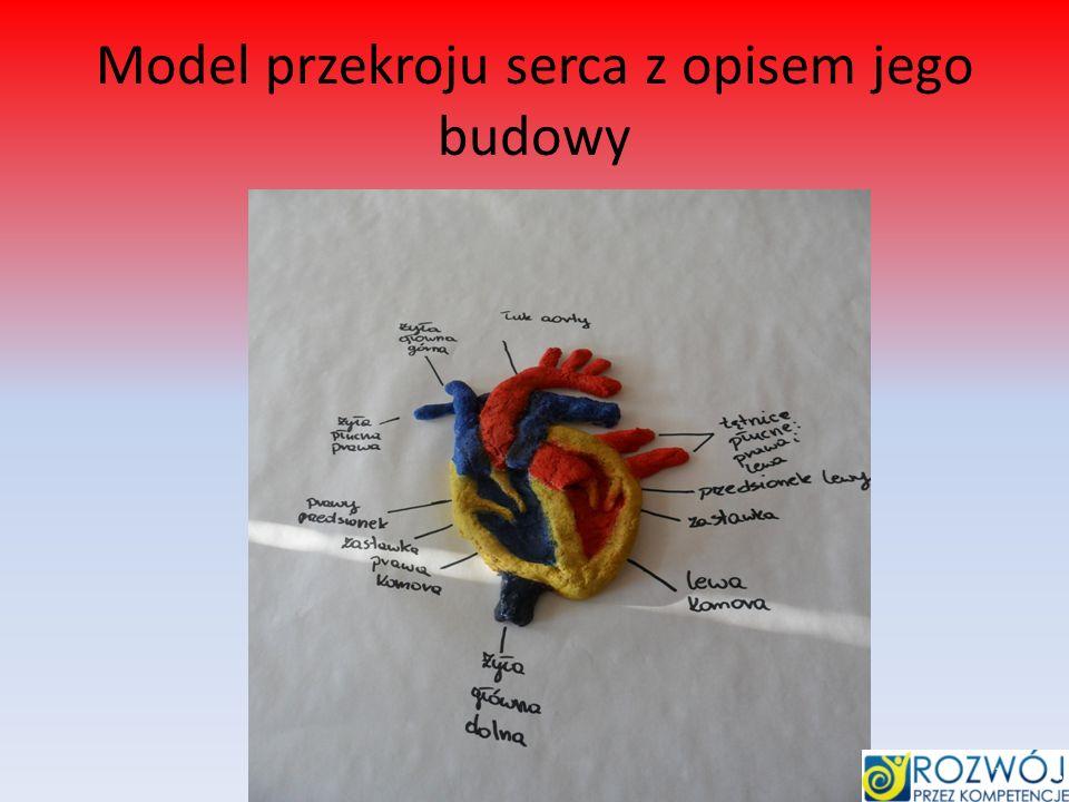 Model przekroju serca z opisem jego budowy