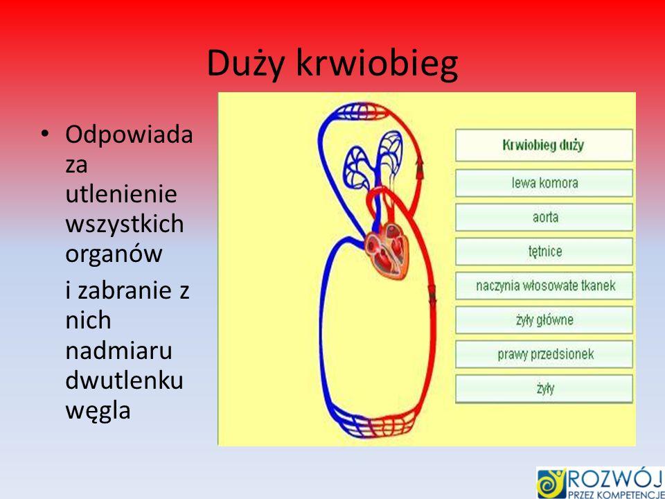 Duży krwiobieg Odpowiada za utlenienie wszystkich organów