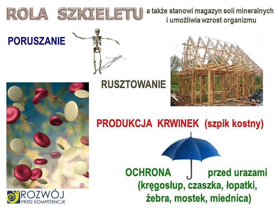 ROLA SZKIELETU PORUSZANIE RUSZTOWANIE PRODUKCJA KRWINEK (szpik kostny)
