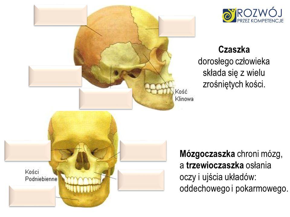Czaszka dorosłego człowieka. składa się z wielu. zrośniętych kości. Mózgoczaszka chroni mózg, a trzewioczaszka osłania.