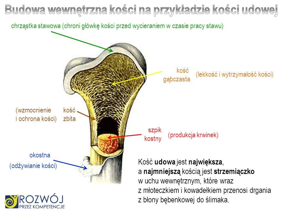Budowa wewnętrzna kości na przykładzie kości udowej