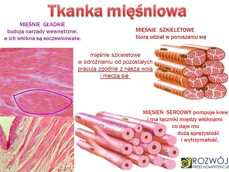 Tkanka mięśniowa MIĘŚNIE GŁADKIE budują narządy wewnętrzne,