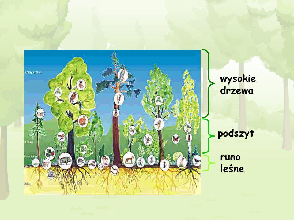 wysokie drzewa podszyt runo leśne