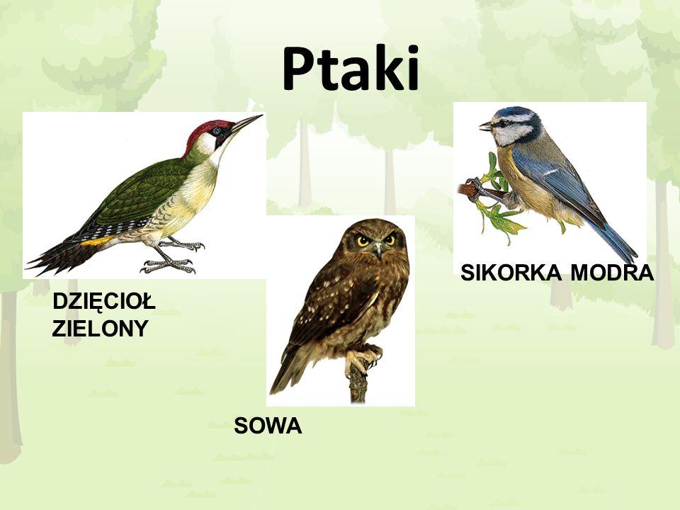 Ptaki SIKORKA MODRA DZIĘCIOŁ ZIELONY SOWA