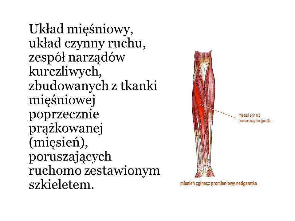 Układ mięśniowy, układ czynny ruchu, zespół narządów kurczliwych, zbudowanych z tkanki mięśniowej poprzecznie prążkowanej (mięsień), poruszających ruchomo zestawionym szkieletem.