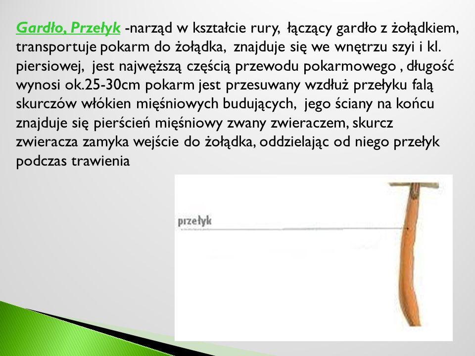 Gardło, Przełyk -narząd w kształcie rury, łączący gardło z żołądkiem, transportuje pokarm do żołądka, znajduje się we wnętrzu szyi i kl.