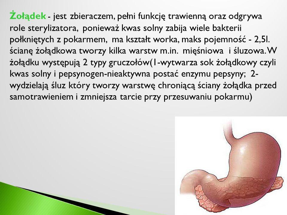 Żołądek - jest zbieraczem, pełni funkcję trawienną oraz odgrywa role sterylizatora, ponieważ kwas solny zabija wiele bakterii połkniętych z pokarmem, ma kształt worka, maks pojemność - 2,5l.