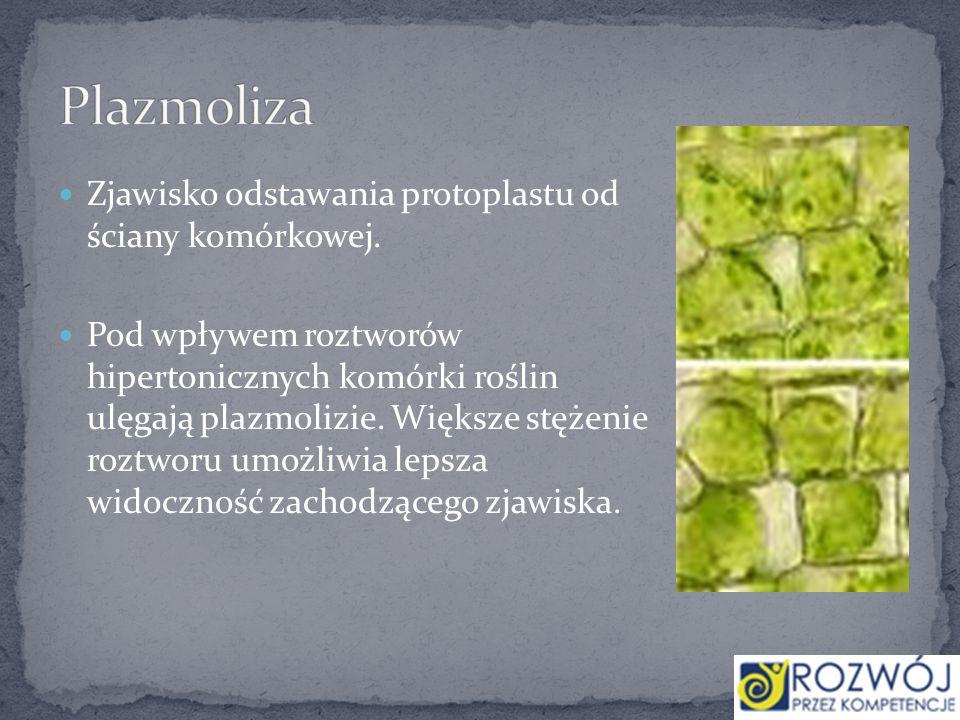 Plazmoliza Zjawisko odstawania protoplastu od ściany komórkowej.